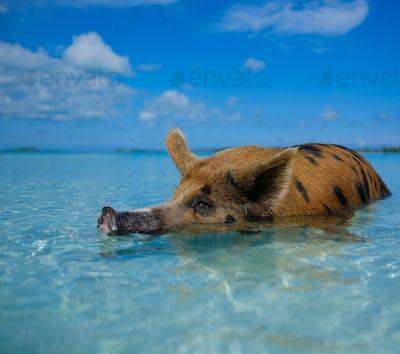 Wild, swiming pig on Big Majors Cay in The Bahamas