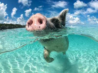 Wild, swiming pig on Big Majors Cay in The Bahamas
