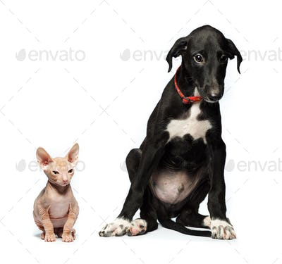 Cute puppy greyhound and kitten don sphynx on a white
