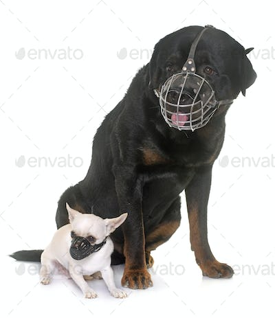 rottweiler, chihuahua and muzzles