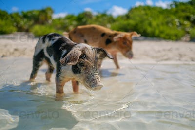 Wild, swimming piglets on Big Majors Cay in The Bahamas