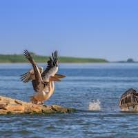 white pelicans (pelecanus onocrotalus) in flight