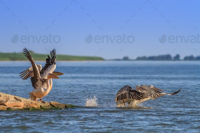 white pelicans (pelecanus onocrotalus) in flight