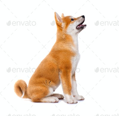 Akita Inu purebred puppy dog isolated on white background. Shiba