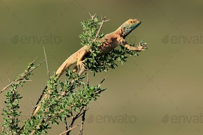 Male ground agama
