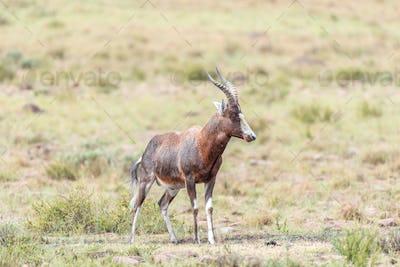 Wet blesbok in the Mountain Zebra National Park