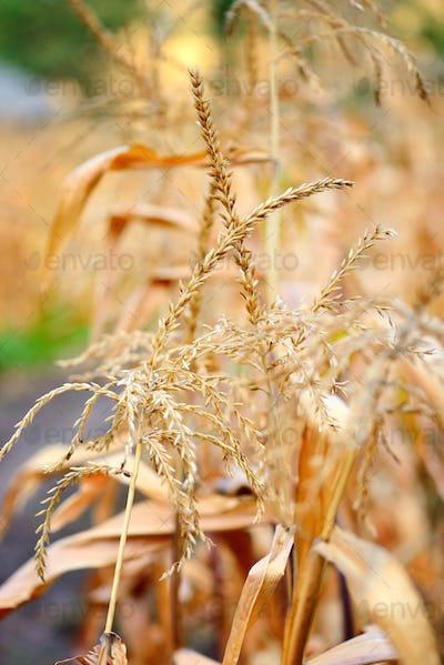 Closeup of Corn flower. Autumn background