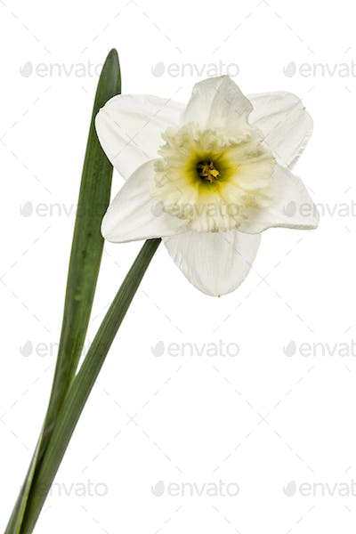 Flower of white Daffodil (narcissus), isolated on white backgrou