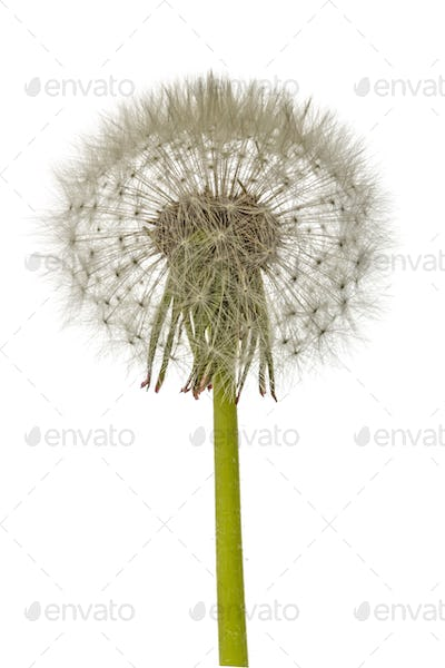 Old  dandelion isolated on white background