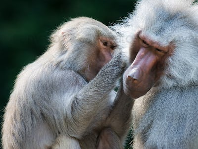 Grooming baboon monkeys