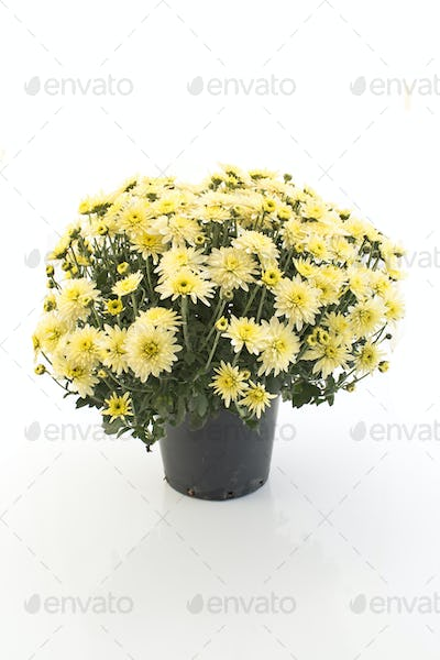 Yellow Chrysanthemum Potted Isolated on White