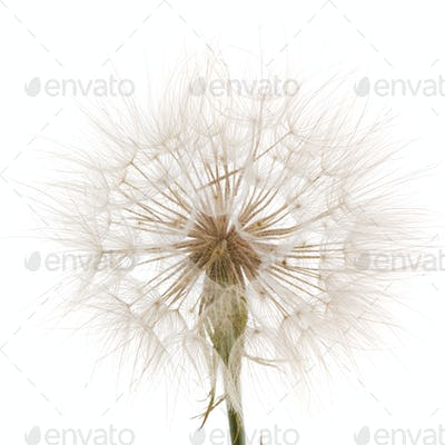Tragopogon pratensiss close-up, isolated on white background