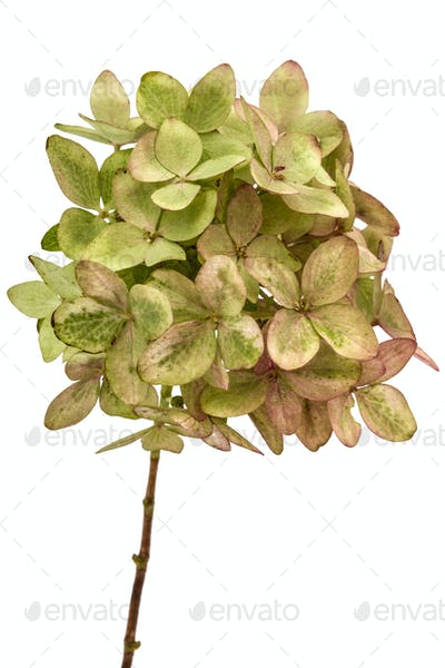 Inflorescence of hydrangea close-up, isolated on white backgroun
