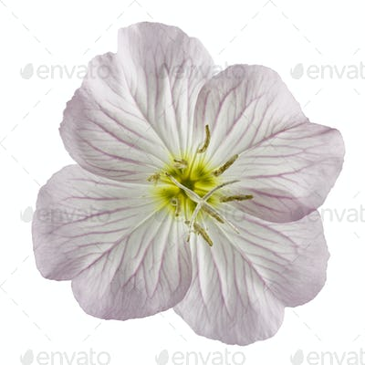 Flower of pink Evening Primrose (Oenothera), isolated on white b
