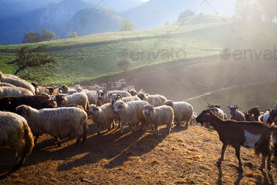 Heard of sheep in foggy morning in autumn mountains