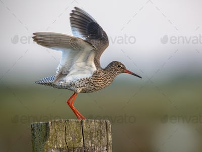 Common Redshank flying off