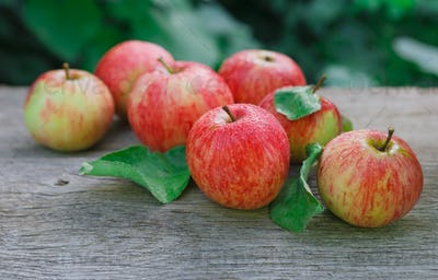 Red and yellow apples harvest in fall garden