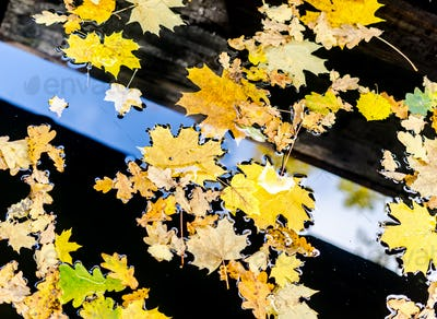 Yellow maple and oak leaves on the water