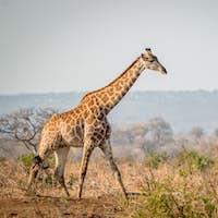 Giraffe walking in the bush