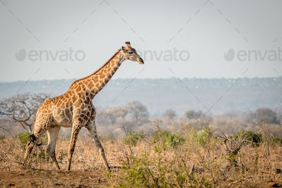Giraffe walking in the bush