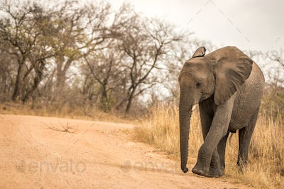 An Elephant walking on the road.