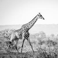 Giraffe walking in the bush in black and white.