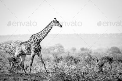 Giraffe walking in the bush in black and white.