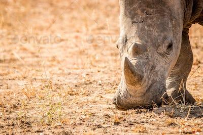 Grazing White rhino.