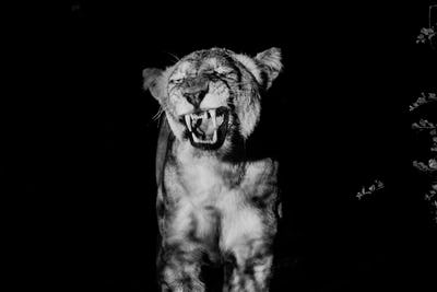 Black and white picture of a growling Lioness.