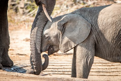 Baby Elephant leaning against mothers trunk.