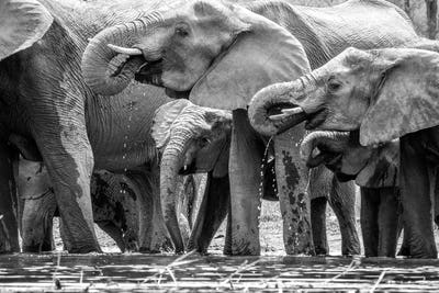 Drinking herd of Elephants in black and white.
