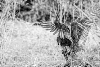 Bateleur stretching his wings.