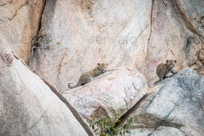 Two Leopard cubs on the rocks.