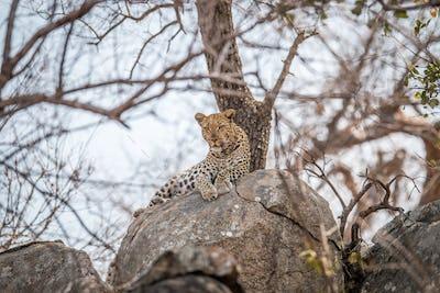 Leopard on the rocks.