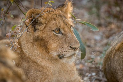 Side profile of a starring cub.