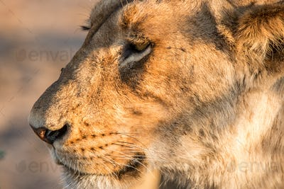 Side profile of a Lion.