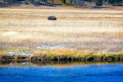 Bison and River