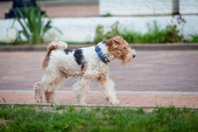 beautiful dog. Portrait young dog playing. Fox Terrier