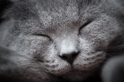 Face close-up of a young cute cat sleeping blissfully. The British Shorthair