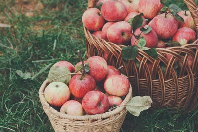 Baskets with apples harvest in fall garden