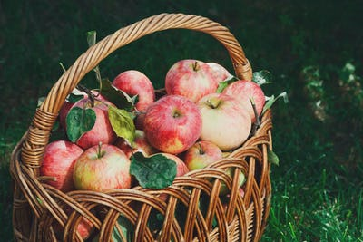 Basket with apples harvest in fall garden