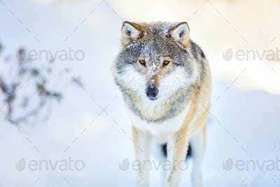 Wolf stands in beautiful and cold winter forest