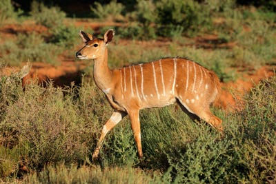 Nyala antelope in natural habitat