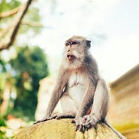 portrait of long tailed monkey smiling to camera