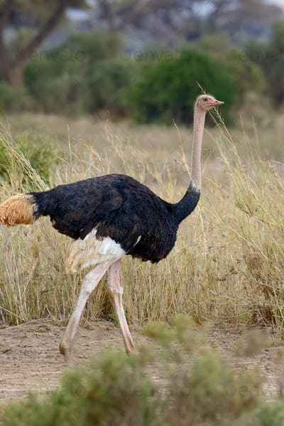 African ostrich (Struthio camelus)
