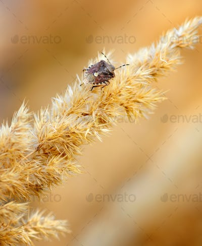 Brown beetle on autumn ornamental grasses. Close up