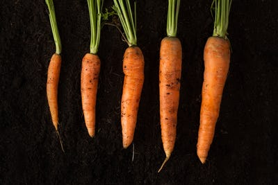 Horizontal photo of fresh carrots on dark soil background textur