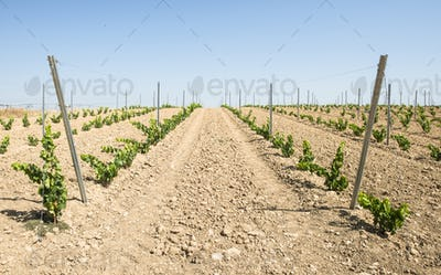 Young vineyard