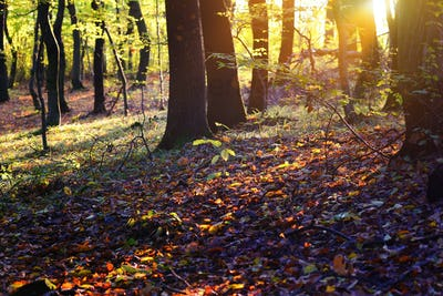 Sunset in the autumn forest. The sun's rays shine through the tr