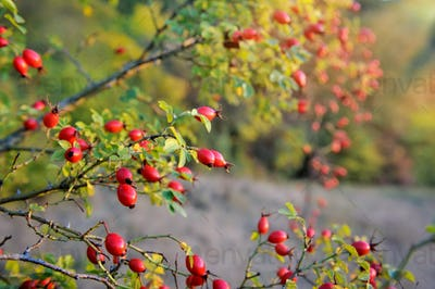 Wild rose bush with many ripe berries. Autumn is time